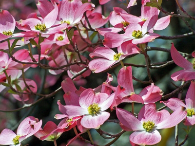 Disease Resistant Dogwood Trees