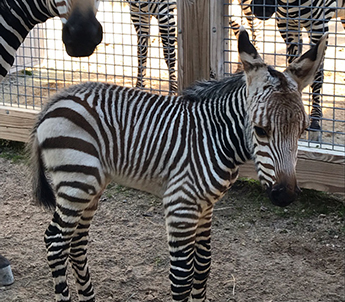 zoo knoxville baby zebra